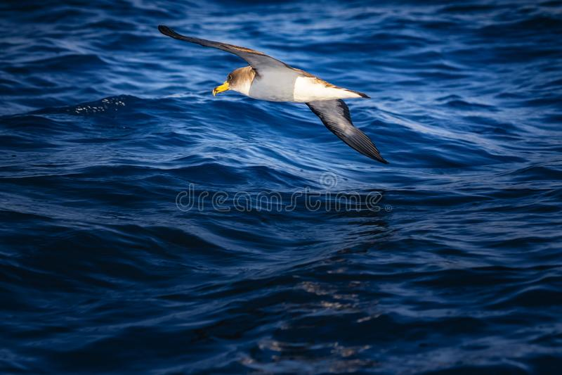 Flying albatross bird above the Atlantic Ocean. It& x27;s in Madeira, Portugal. Sea bird is touching the water wing royalty free stock photos