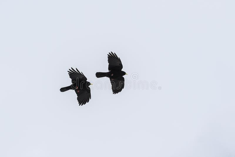 Flying  Alpine chough or yellow-billed chough Pyrrhocorax graculus against a gray sky, a bird of the crow family, copy space. Alpine chough or yellow-billed stock photo