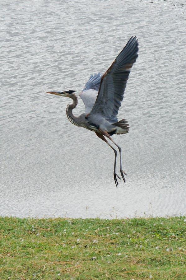 a flying anhinga (bird) royalty free stock image