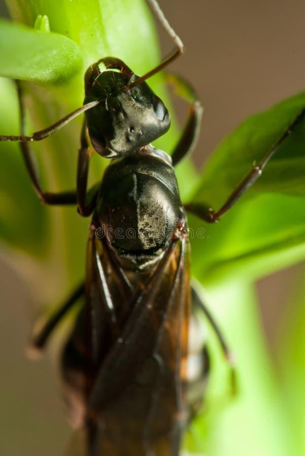 Free Flying Ant On Leaf Royalty Free Stock Image - 20464986