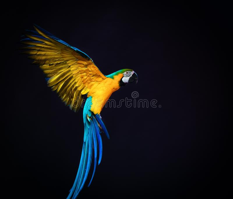 Flying Ara. Colourful flying Ara on a dark background royalty free stock image
