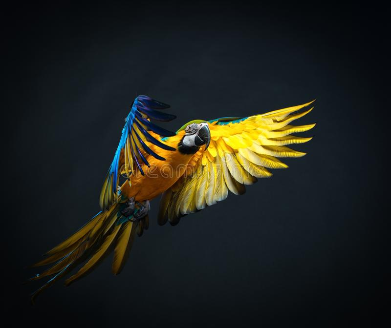 Flying Ara. Colourful flying Ara on a dark background stock images