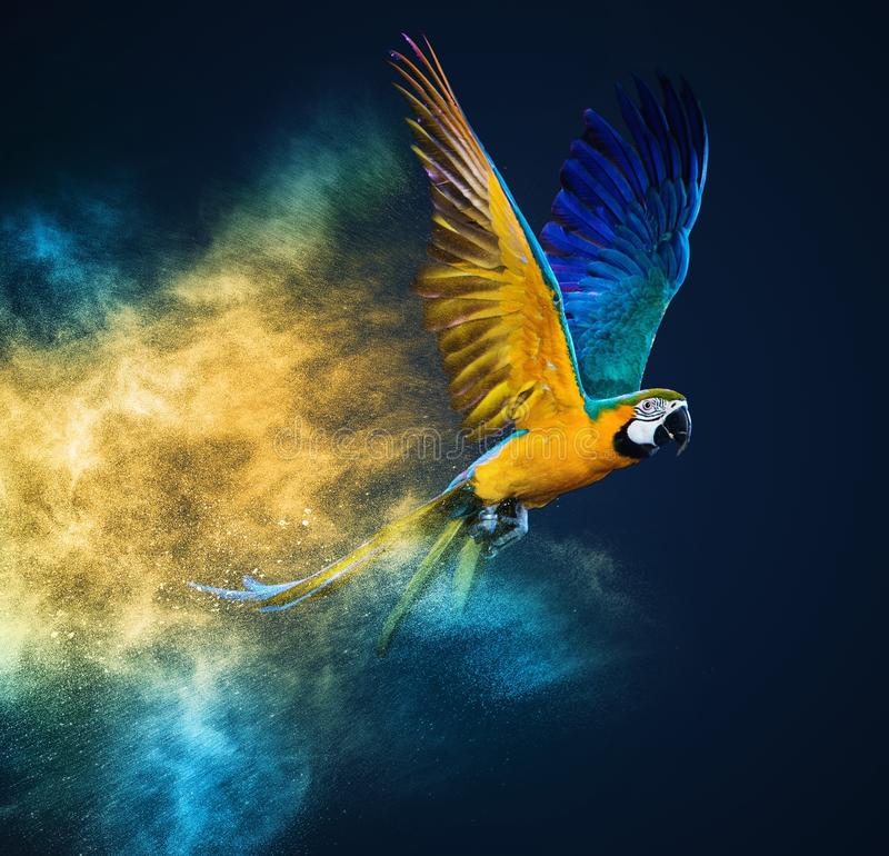 Flying Ara parrot. Over colourful powder explosion stock photography