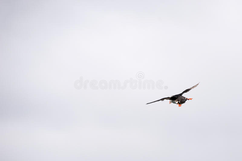 Flying atlantic puffin, Fratercula arctica. As seen from behind stock images