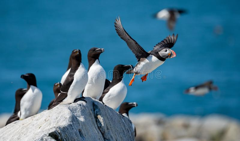 Flying Atlantic Puffin stock photography