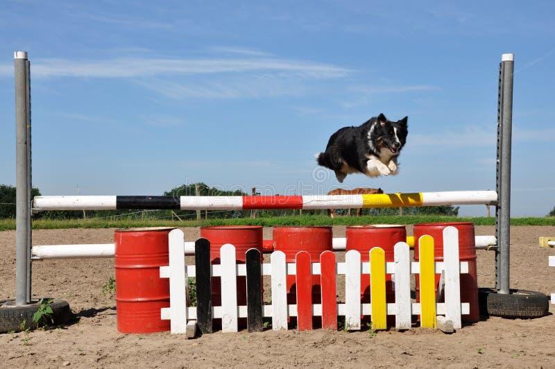 Flying Australian Shepherd Dog. Australian Shepherd dog jumping over obstacle on riding place royalty free stock photography