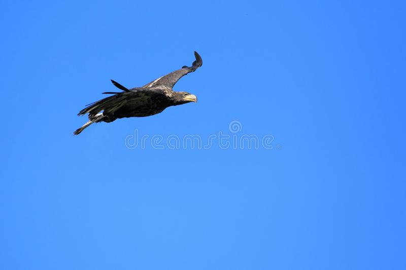 Download Flying bald eagle stock photo. Image of blue, nature - 21721356