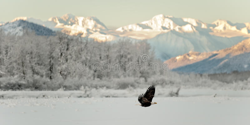 Flying Bald eagle. A flying Bald eagle against snow-covered mountains.The Chilkat Valley under a covering of snow, with mountains behind. Chilkat River .Alaska royalty free stock images