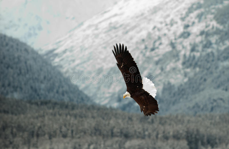 Flying Bald eagle. A flying Bald eagle against snow-covered mountains.The Chilkat Valley under a covering of snow, with mountains behind. Chilkat River .Alaska royalty free stock photo