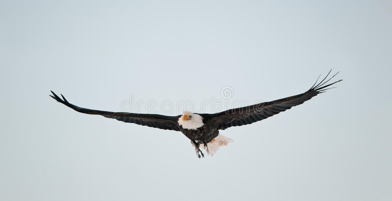 Download Flying Bald Eagle stock image. Image of open, animals - 23368815