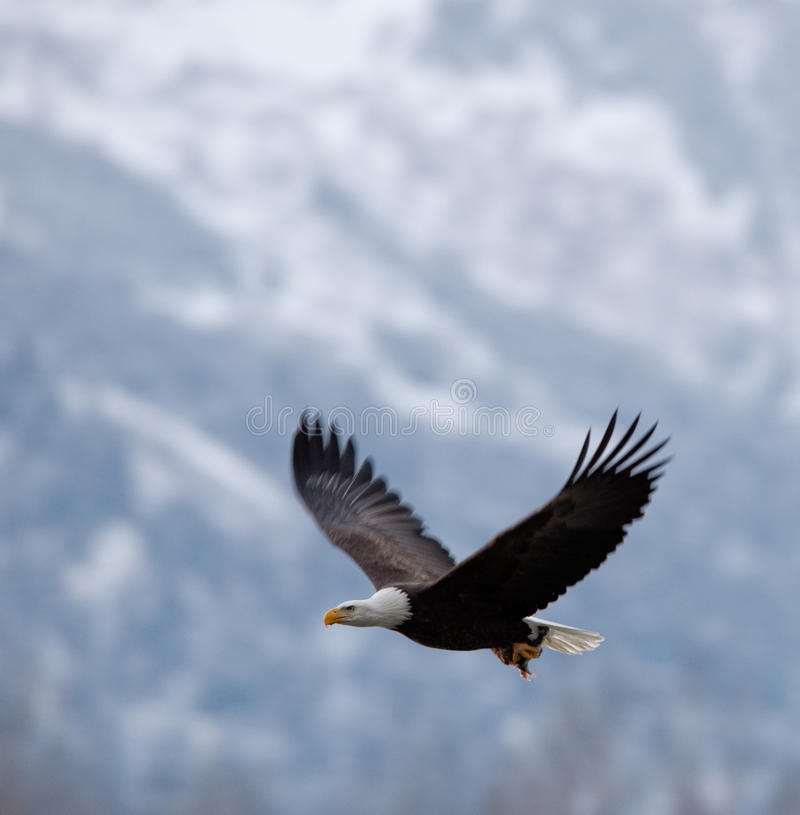 Flying bald eagle. ( Haliaeetus leucocephalus ). Against snow-covered mountains stock photography