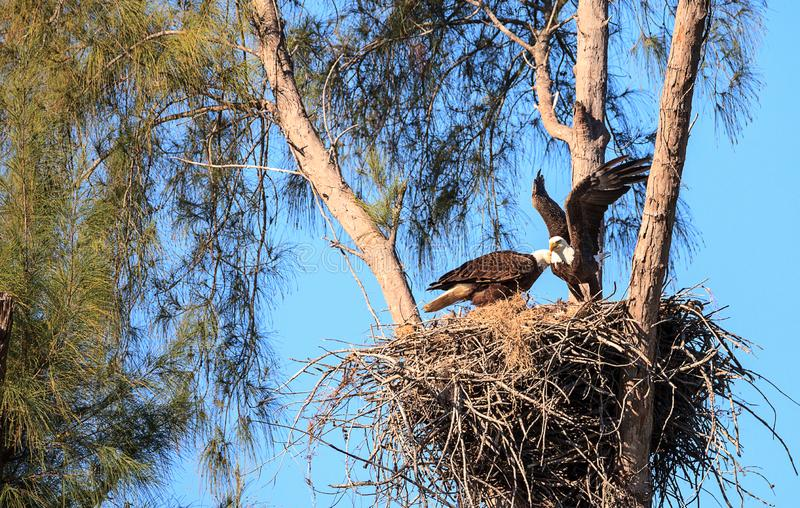 Flying bald eagle Haliaeetus leucocephalus parents with their nest of chicks on Marco Island. Florida in the winter royalty free stock photography