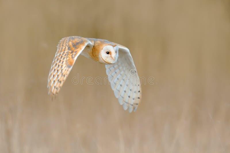 Flying Barn Owl, wild bird in morning nice light. animal in the nature habitat. Bird landing in the grass, action wildlife scene, royalty free stock photos