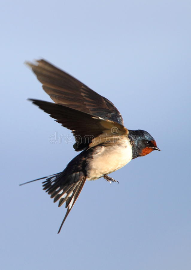 Free Flying Barn Swallow Stock Photo - 13408420