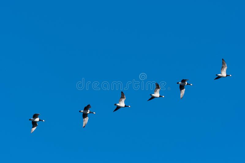 Flying Barnacle Geese in a line royalty free stock photography