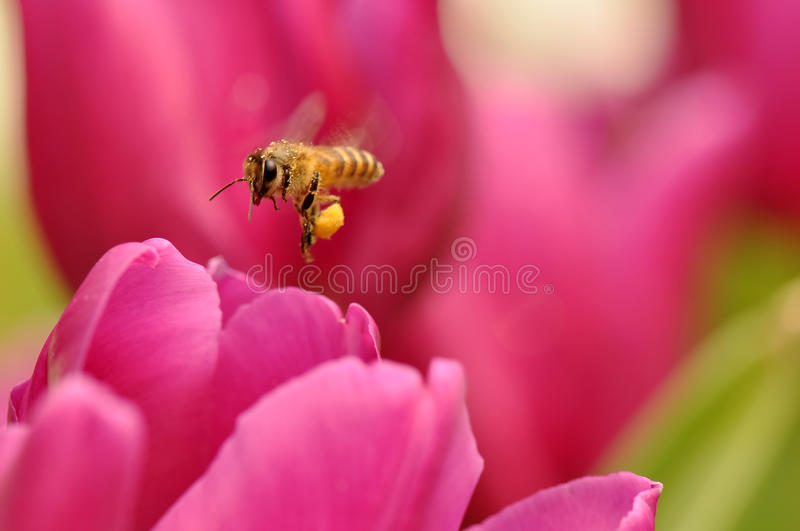 Flying Bee royalty free stock photo