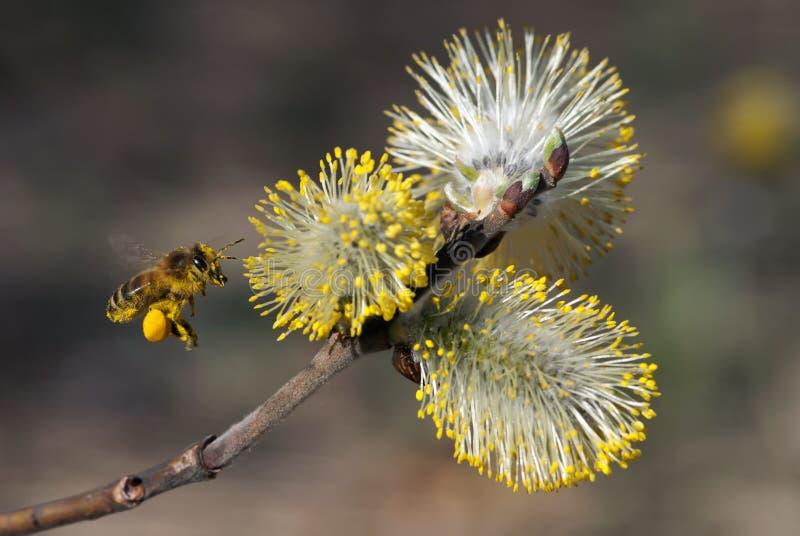 The flying bee stock photo