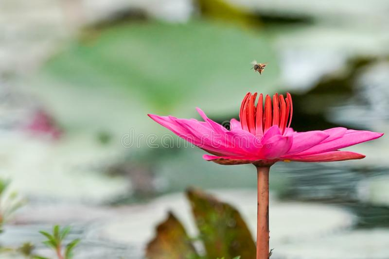 A flying bee above pink water Lilly royalty free stock photos