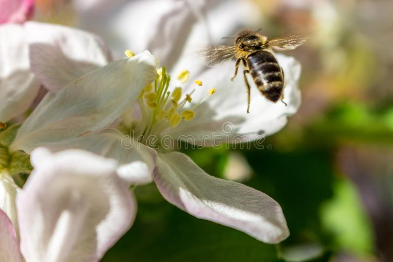 Flying bee collecting pollen and nectar close up. Bee macro. Nectar and honey concept. Bee on blooming flower in garden. stock photos