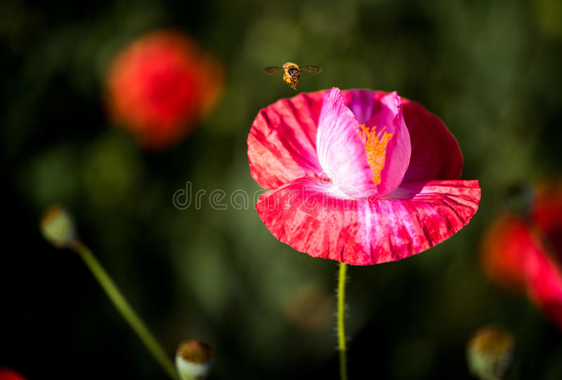 Flying Bee and Corn Poppy royalty free stock images