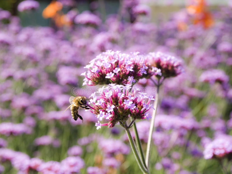 Flying bee and flowers royalty free stock images