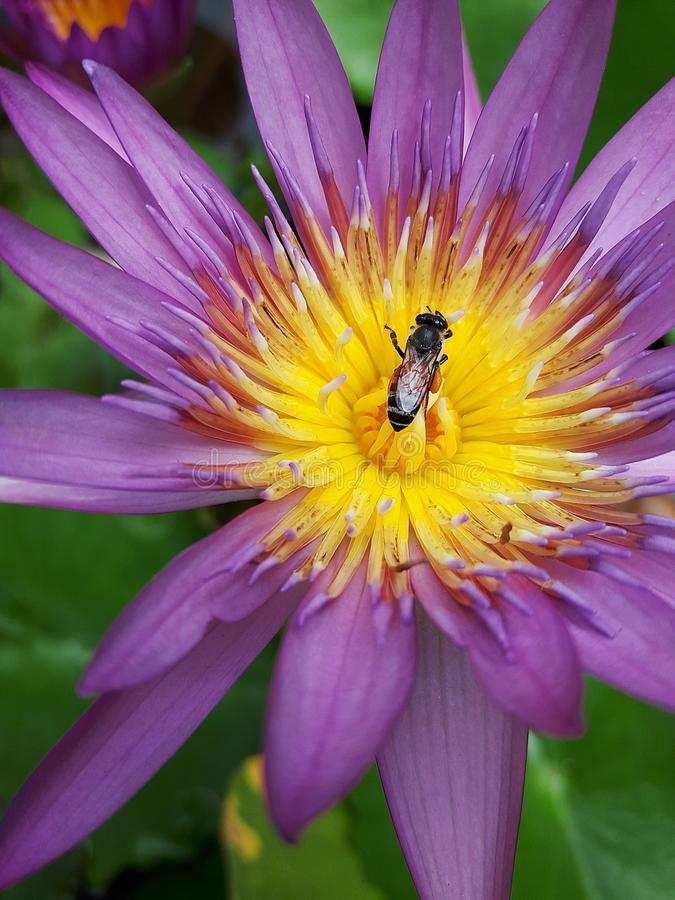 Flying bee on a lotus stock images
