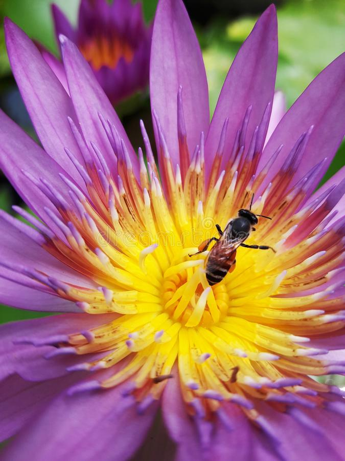 Flying bee on a lotus royalty free stock photo