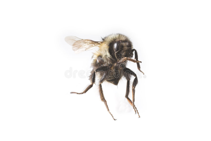 Flying bee macro. Over white royalty free stock photos
