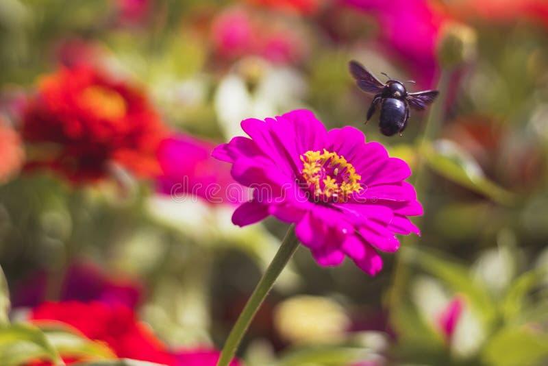 Flying bee over pink Zinnia flower stock photos