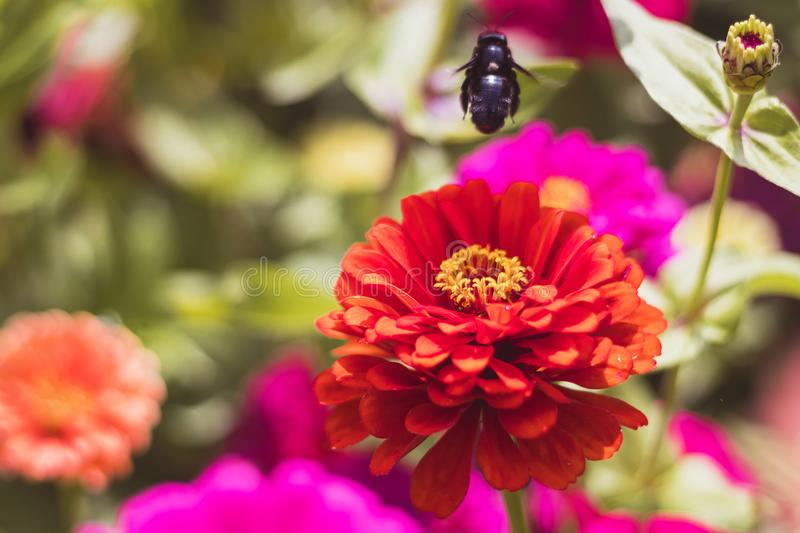 Flying bee over red Zinnia flower royalty free stock photos