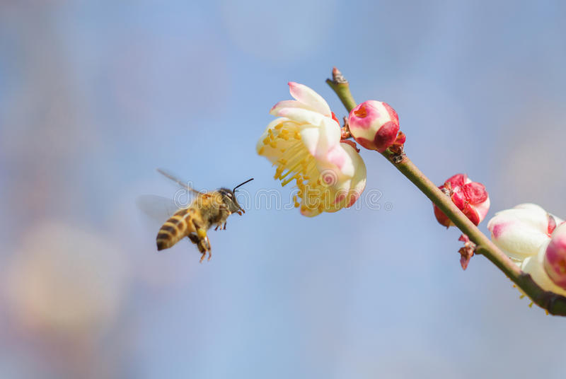 Flying bee and peach blossom stock photography