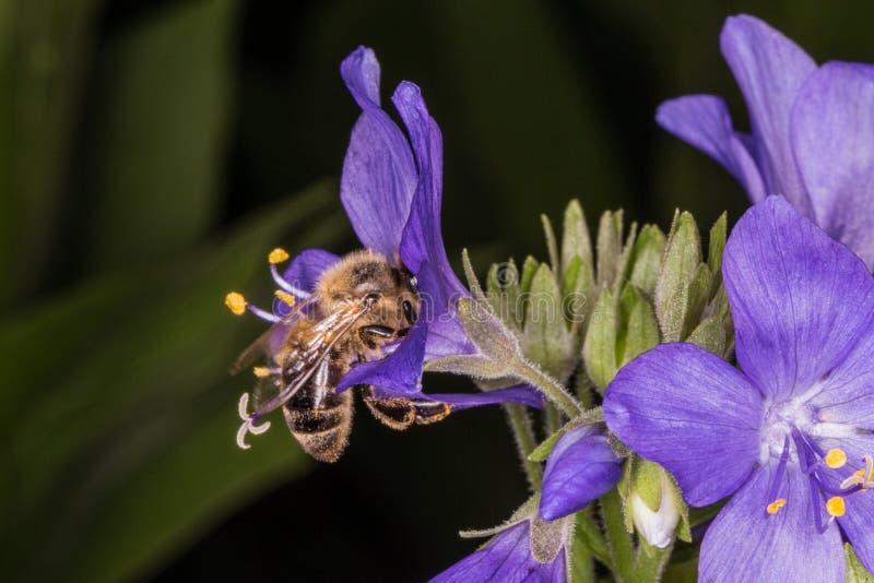 Flying Bee and Polemonium caeruleum. Macro photo. Bee in flight. Bee collecting nectar. Pollination of a flower Polemonium caeruleum royalty free stock image