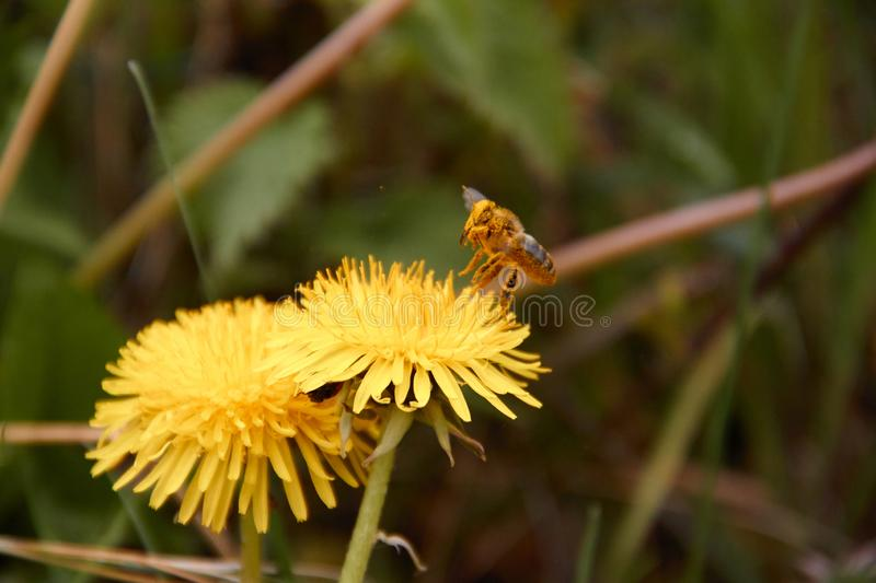 Flying bee to collect pollen in yellow dandelion flower with a background of diffused green grass. Nature macro outdoor animal field meadow plant spring summer royalty free stock image