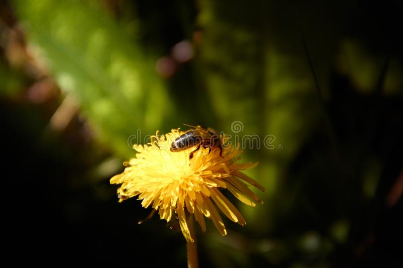 Flying bee to collect pollen in yellow dandelion flower with a background of diffused green grass. Nature macro outdoor animal field meadow plant spring summer royalty free stock photo
