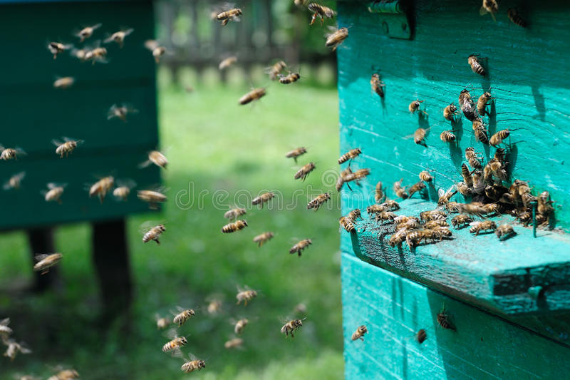 Download Flying bees stock image. Image of diligent, cera, drone - 23828741