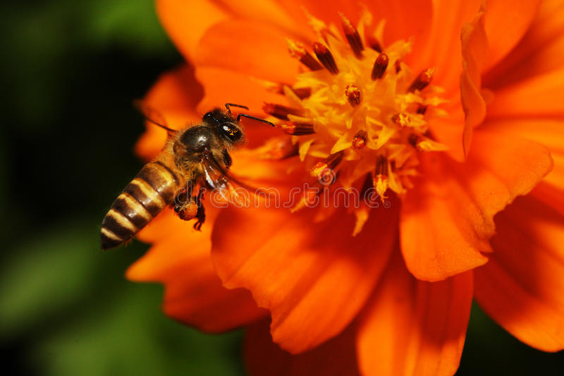 Flying Bees hovering above Flower royalty free stock photos