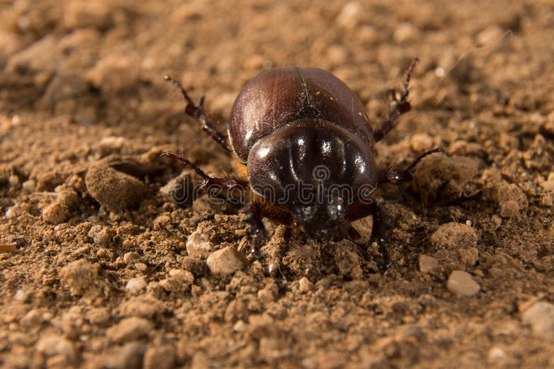 Flying beetle. A size that can exceed four centimeters. This species shows a very pronounced sexual dimorphism, that is, males are easily distinguishable from stock image