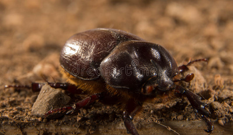 Flying beetle. A size that can exceed four centimeters. This species shows a very pronounced sexual dimorphism, that is, males are easily distinguishable from stock photo