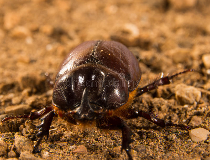 Flying beetle. A size that can exceed four centimeters. This species shows a very pronounced sexual dimorphism, that is, males are easily distinguishable from stock images