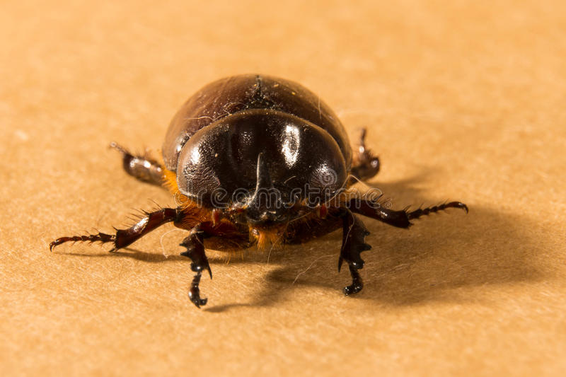 Flying beetle. A size that can exceed four centimeters. This species shows a very pronounced sexual dimorphism, that is, males are easily distinguishable from royalty free stock image
