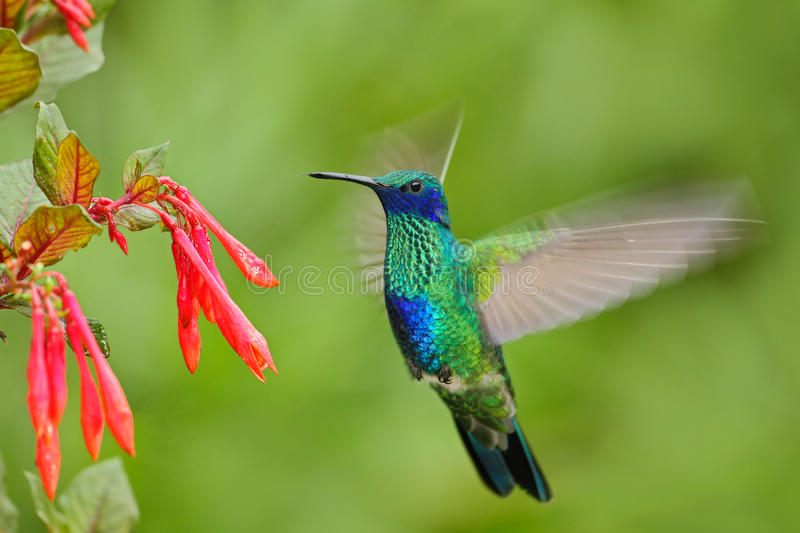 Flying bird. Bird with red flower. Bird in the forest. Bird in fly. Action scene with bird. Green and blue bird. Bird from Ecuador. South America royalty free stock photography
