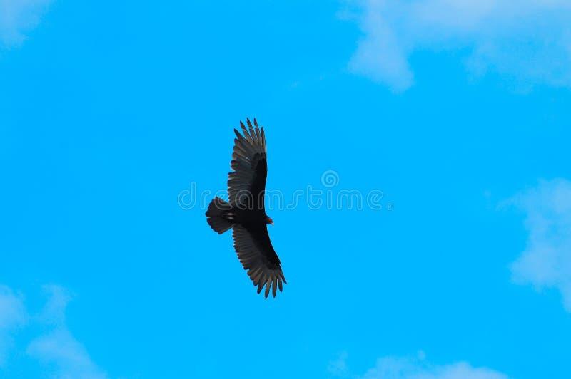Flying bird on blue sky royalty free stock photos