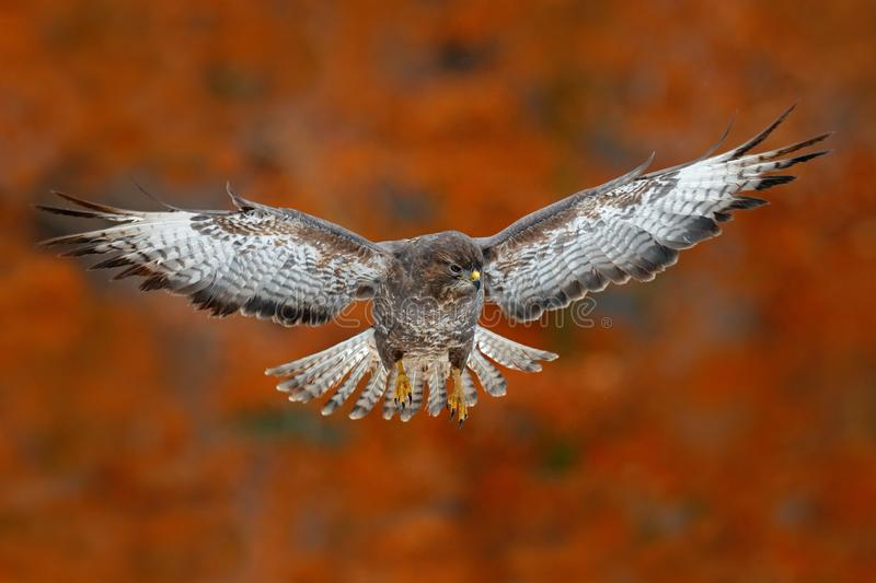 Flying bird Buzzard hawk with blurred orange autumn tree forest in background. Wildlife scene from nature. Bird in fly. Hawk in th royalty free stock images