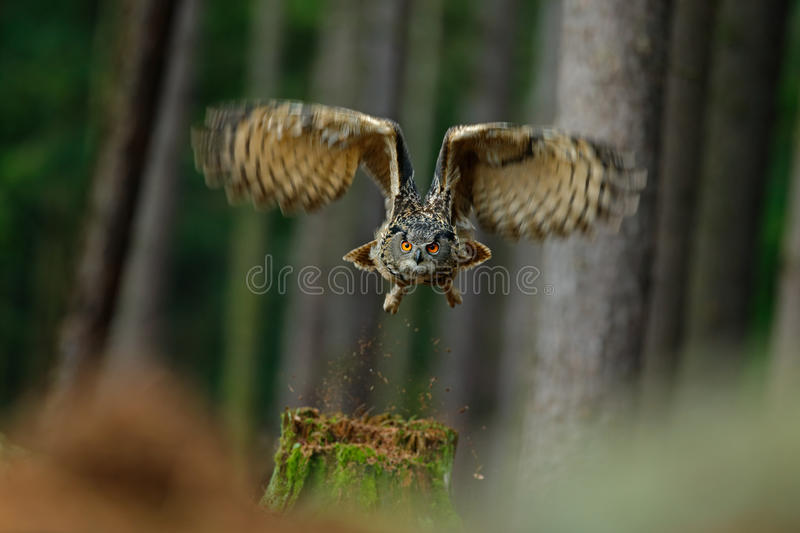 Flying bird Eurasian Eagle Owl with open wings in forest habitat with trees. Norway stock photo