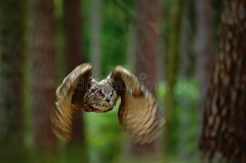 Flying bird Eurasian Eagle Owl with open wings in forest nature habitat with trees, Germany, animal action scene. Bird in flight, bird in flight stock images