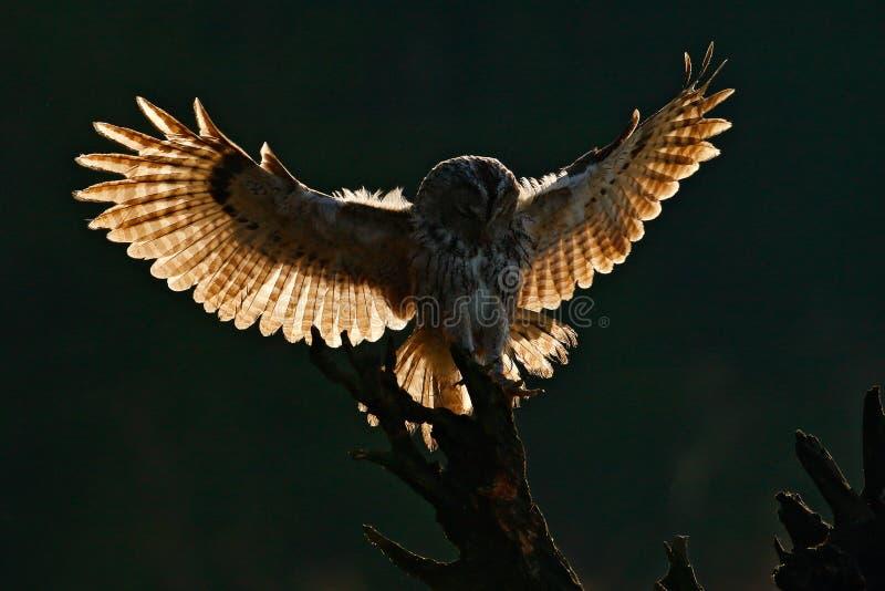 Flying bird. Morning back light. Owl in the forest. Bird in fly. Action scene Flying Eurasian Tawny Owl, with dark blurred forest stock image