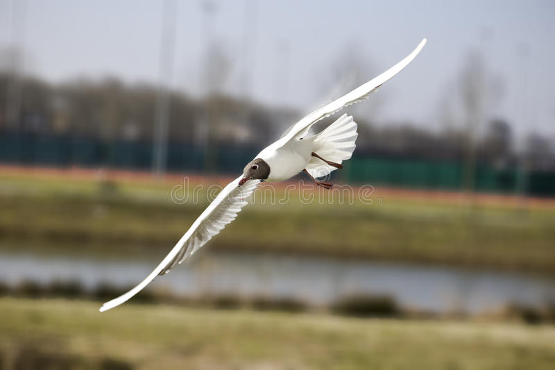 Flying bird. In nature wildlife royalty free stock image