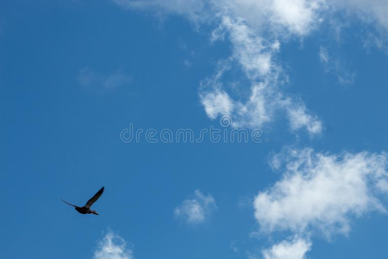 Flying bird of prey in the Florida swamp. Hawk in the Florida swamp flying in the blue sky stock photography