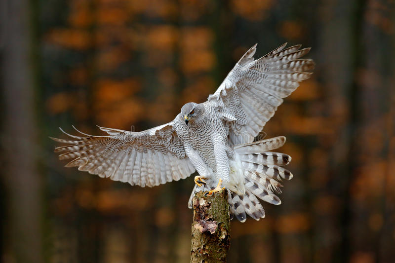 Flying bird of prey Goshawk with blurred orange autumn tree forest in the background, landing on tree trunk royalty free stock photography
