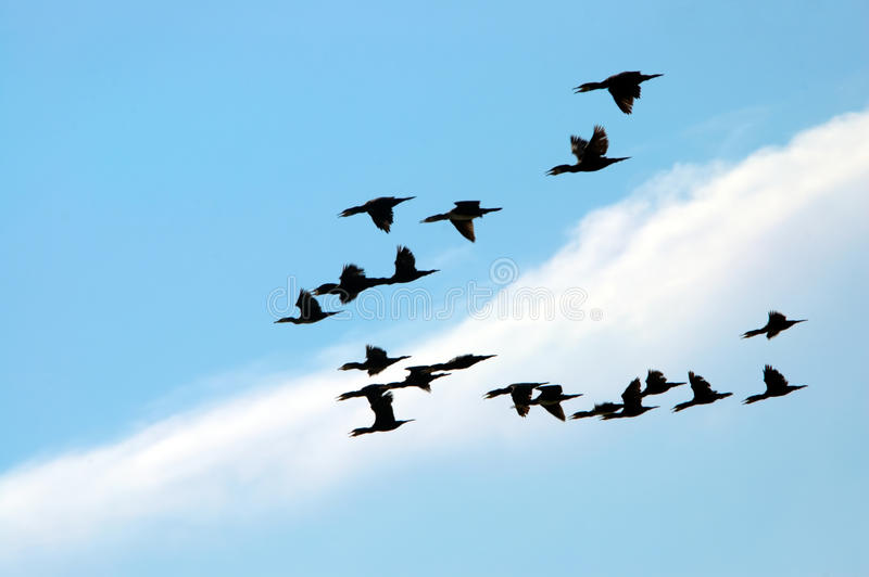 Flying birds royalty free stock photography